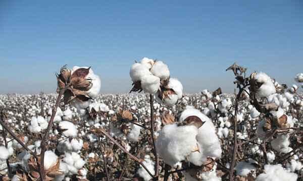 Que es el algodon egipcio