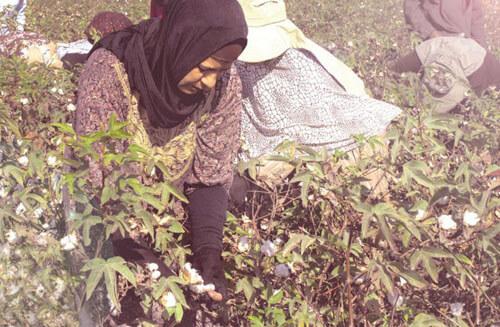 Recolección a mano algodon egipcio
