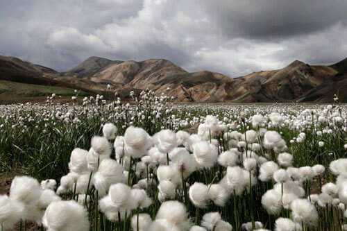 Plantación de algodon en egipto a orillas del rio nilo
